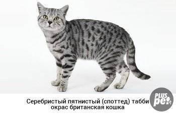 Окрасы табби у кошек.