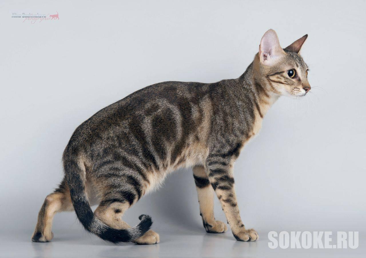 Сококе: фото кошки, цена, описание породы, характер, видео, питомники