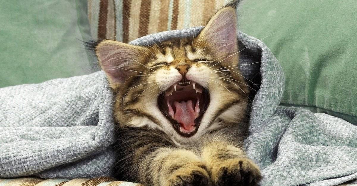Почему кошки зевают: основные причины почему кошки зевают: основные причины