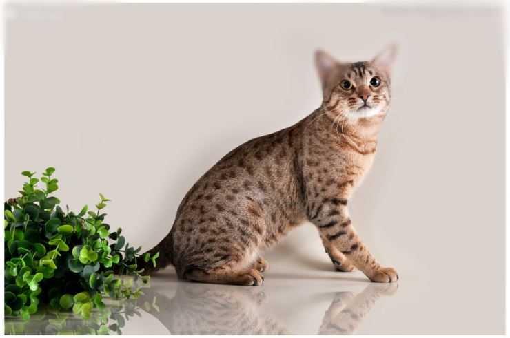 Оцикет кошка. описание, особенности, цена и уход за кошкой оцикет | животный мир