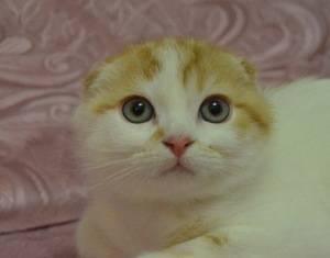 Шотландские кошки золотого окраса: характеристика и особенности ухода