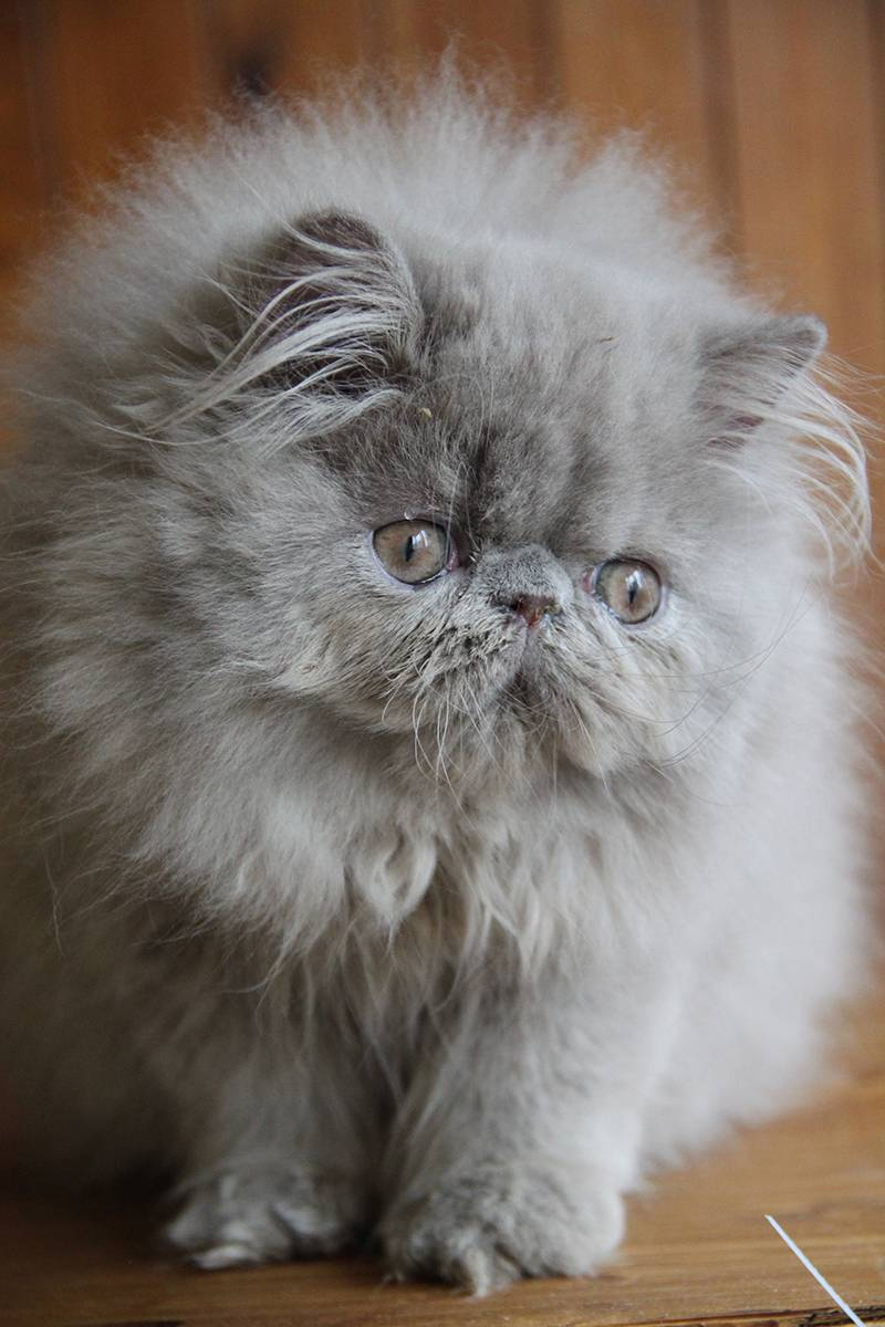 Персидская кошка (перс): 40 фото, цена, характер и описание внешнего вида