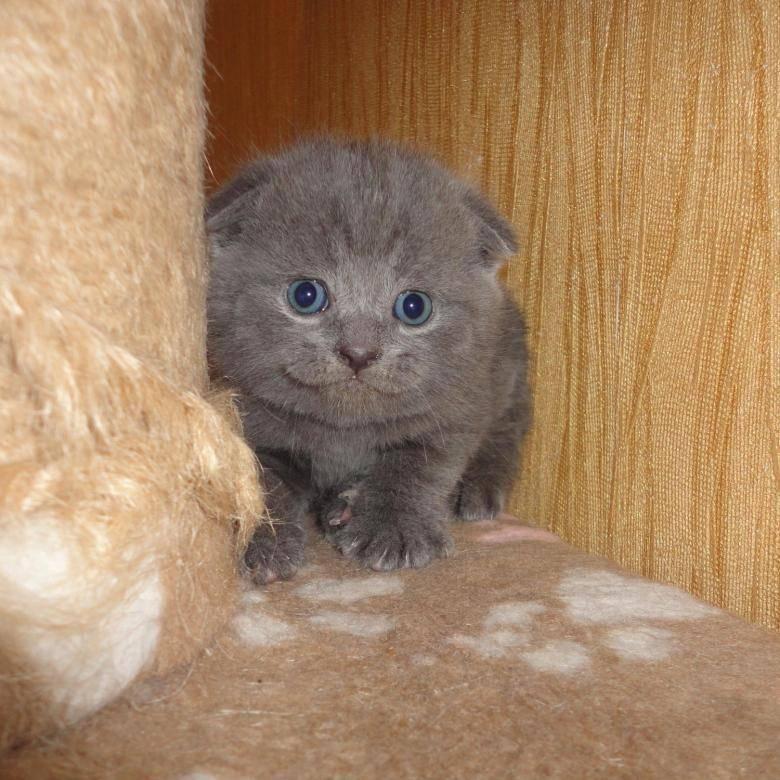 Имя для шотландской кошки: девочки и мальчика, красивые и необычные клички