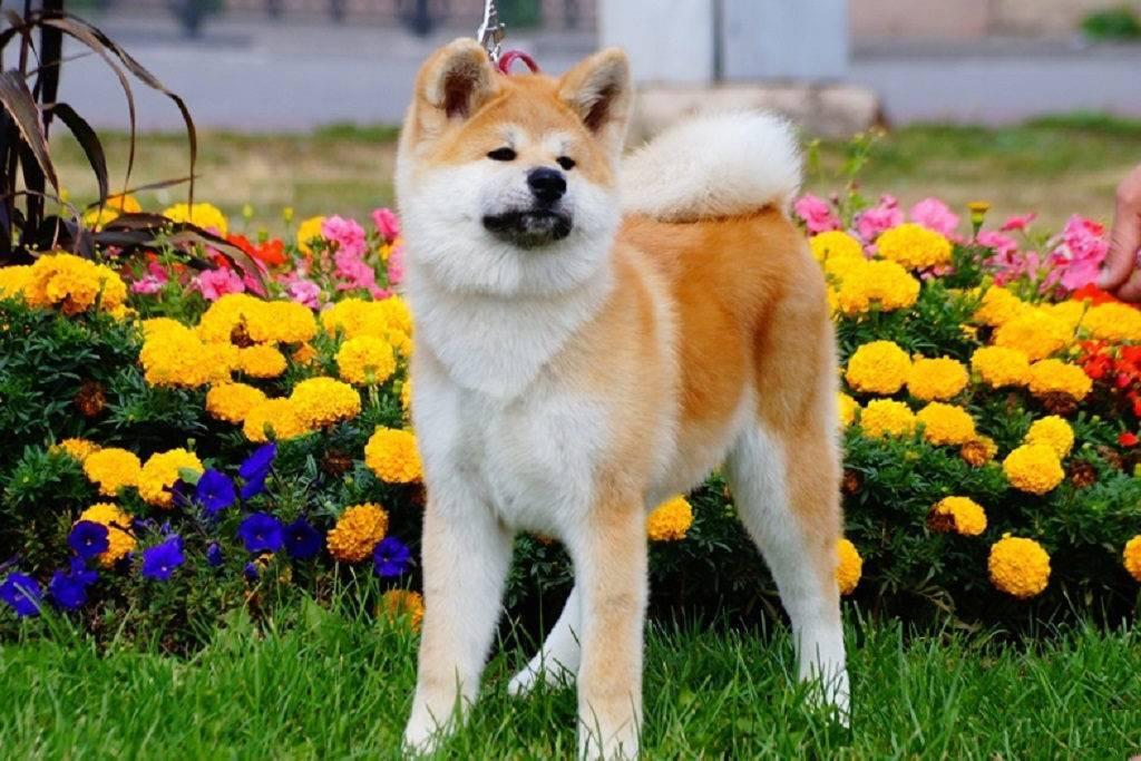 Отличительные особенности породы акита ину: все о характере собак