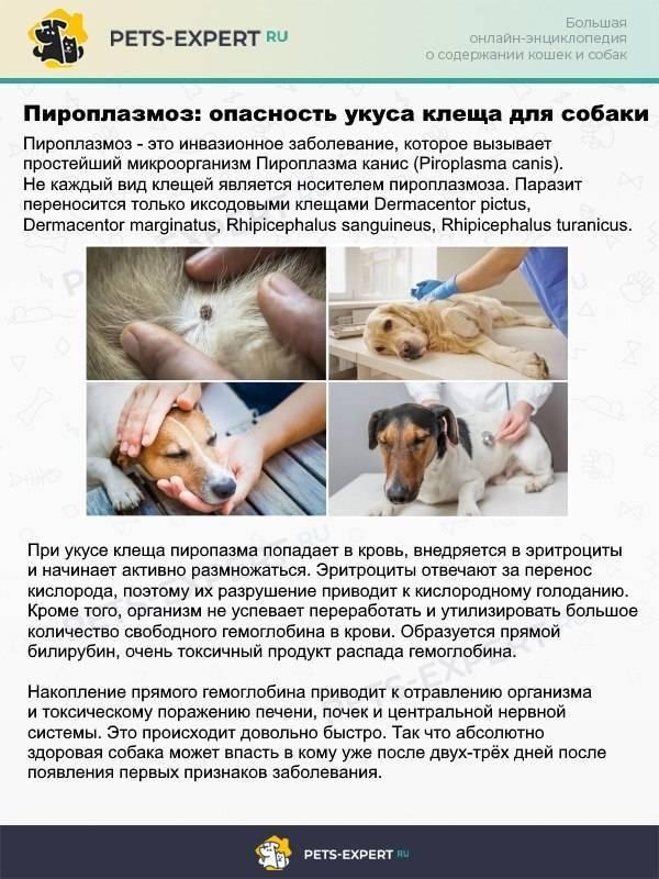 Дирофиляриоз у собак – вид гельминтоза с опасными последствиями