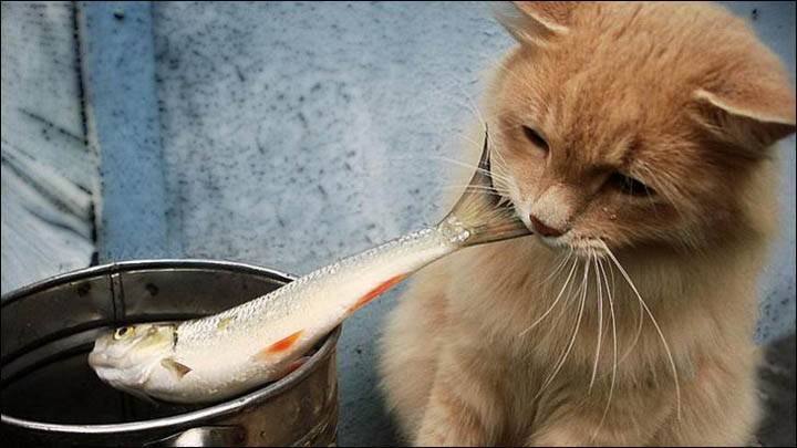 Можно ли кошкам давать рыбу?