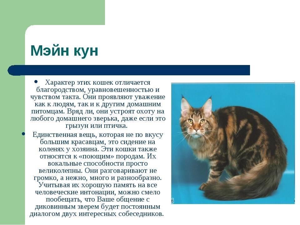 Тигровая кошка (онцилла)