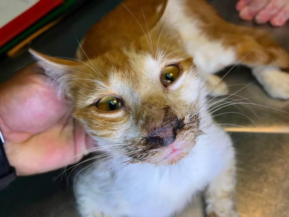 Вирусные заболевания и инфекции у кошек: симптомы и лечение