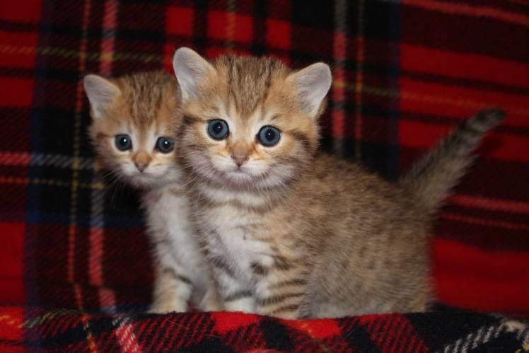 Купить британского котенка. питомник британских кошек в краснодаре bastet-a-tet