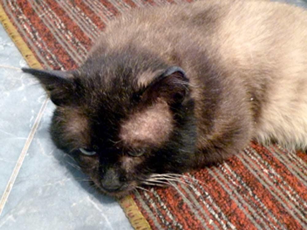 Выпадение шерсти у кота: признаки патологической алопеции