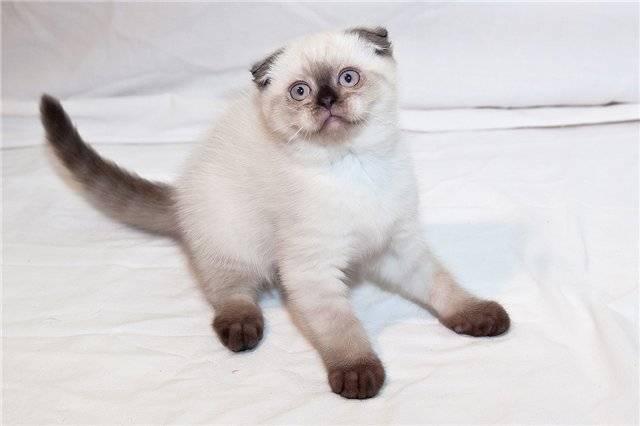 Сиамская кошка. о породе кошек: описание породы сиамская кошка, цены, фото, уход