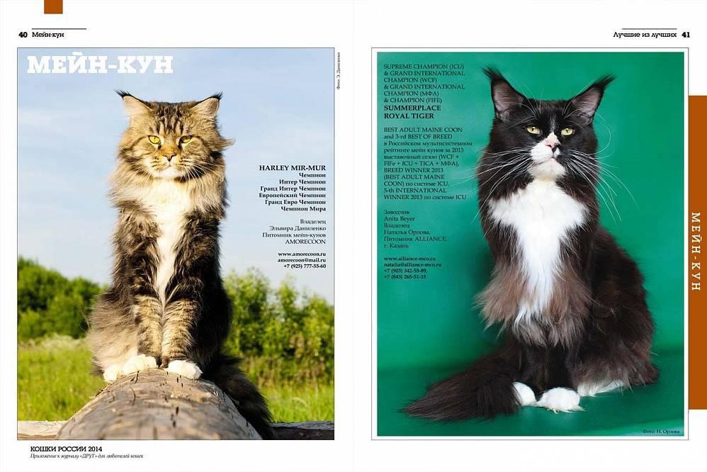 Описание породы кошек мейн-кун с фотографиями, стандарты, содержание и уход