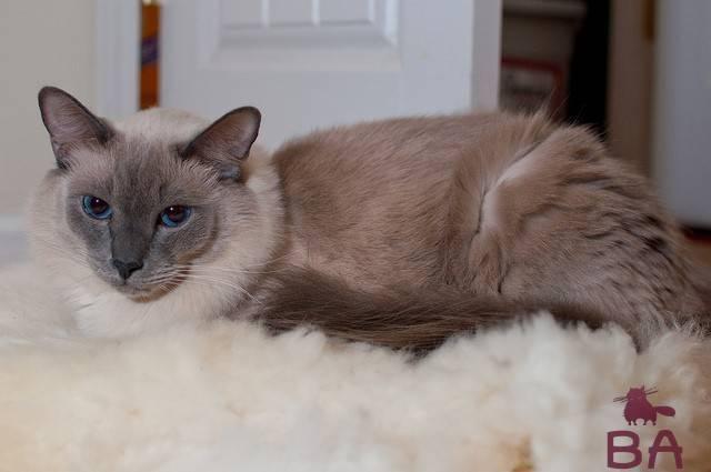 Балинезийская кошка (балинез): фото и цена, внешний вид и характер породы