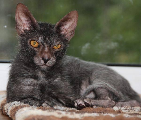 Как выбрать породу кошки: советы и рекомендации