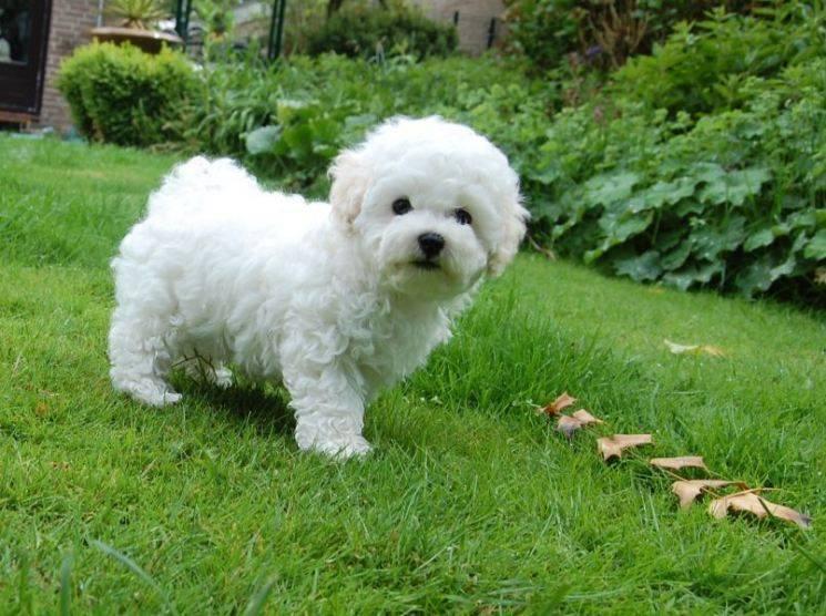 Собака болоньез - описание породы, особенности содержания
