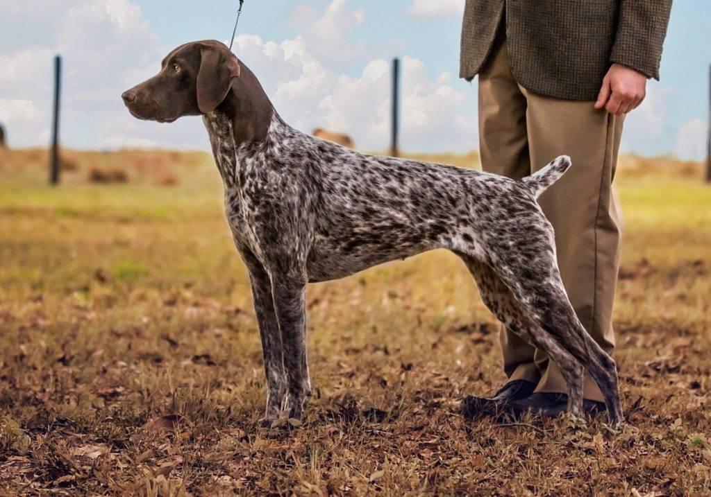 Типичные представители охотничьих пород собак с описанием и фото (ч1)