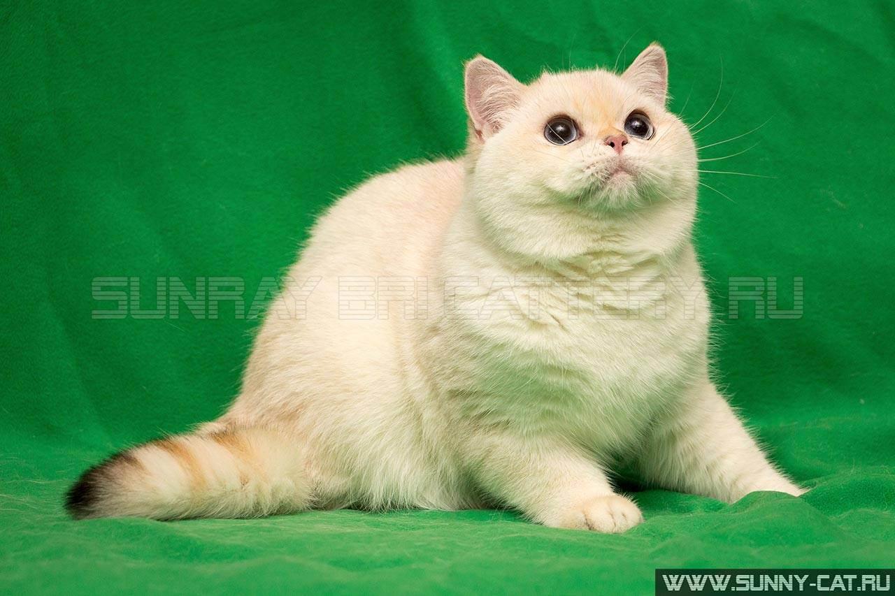 Стоит ли заводить котенка-британца?