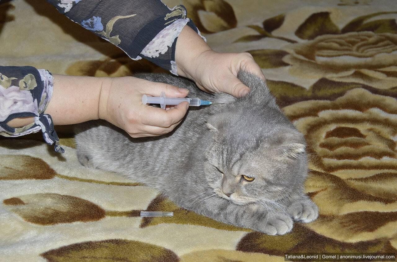 Кошка хромает на переднюю лапу без видимых повреждений