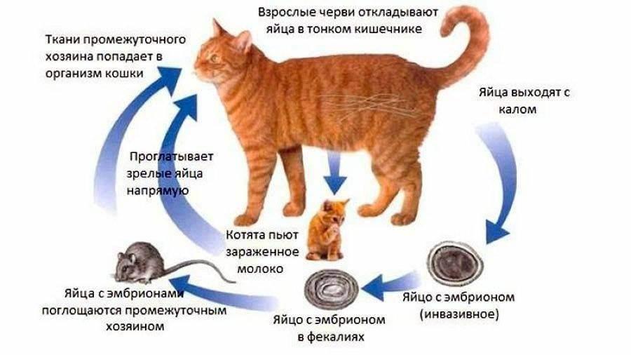 Какие бывают глисты у кошек