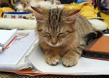 Сколько будет стоит британский котенок— правильная оценка стоимости