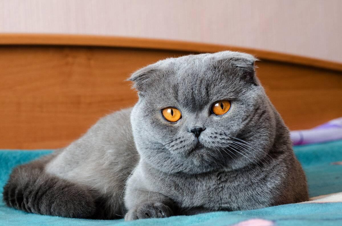 Каракал порода кошек фото