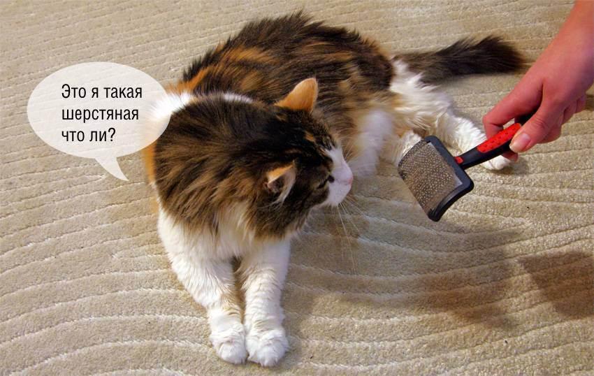 Первая линька у котят британской породы. выпадение шерсти у британского кота
