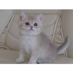 Кот британец: характеристика породы
