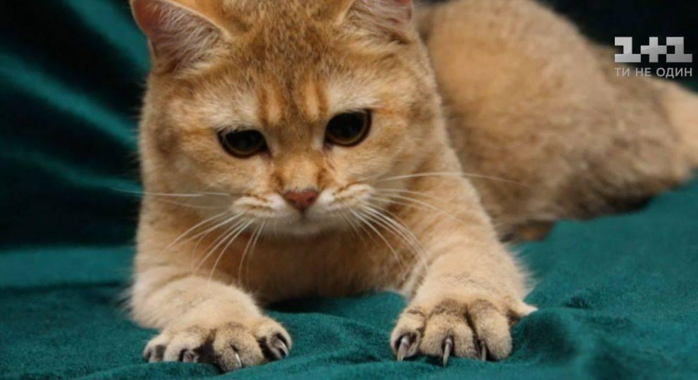 Удаление когтей у кошки. операция мягкие лапки.