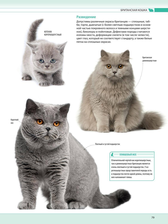 Как назвать шотландскую, британскую, сиамскую кошку