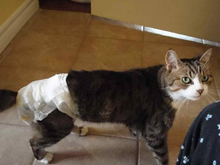 Подгузники для кошек: обзор производителей, выбор, особенности использования, отзывы