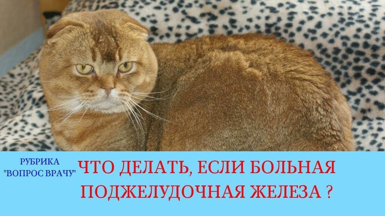 Как проявляется и как вылечить панкреатит у кошки?