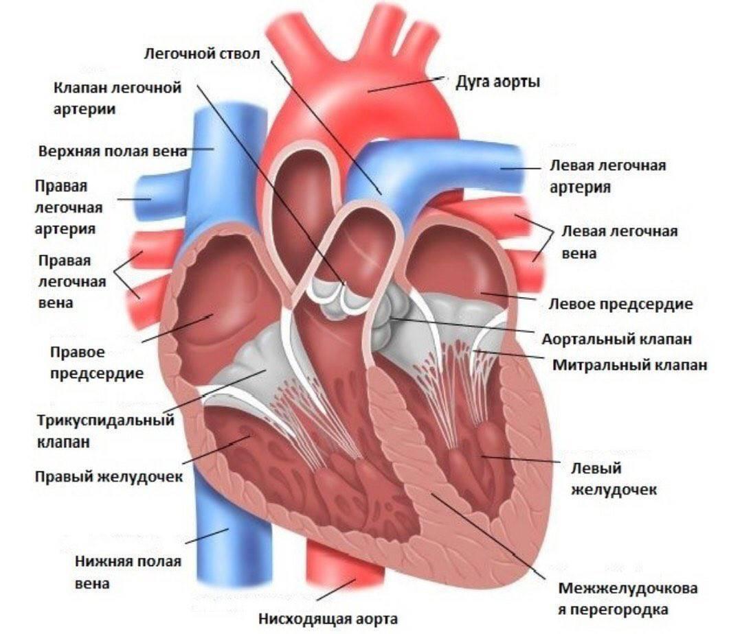 Болезни сердца у кошек: симптомы, лечение