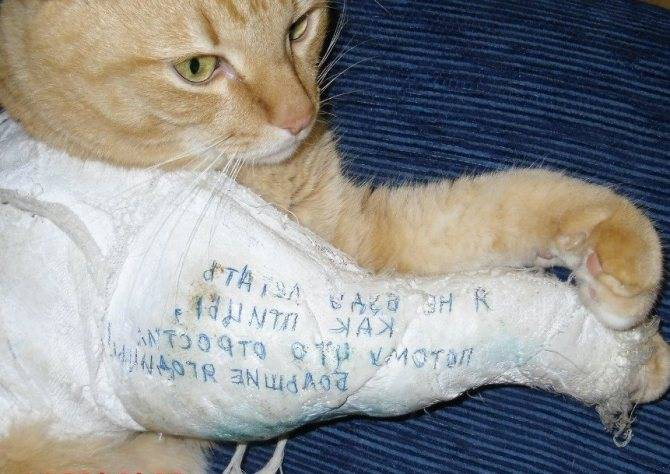 ᐉ котенок хромает на переднюю лапу что делать, причины хромоты у кошек - zoomanji.ru