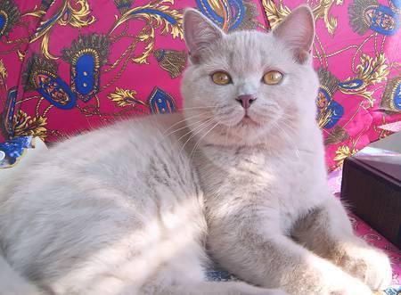 Редкие окрасы британских кошек