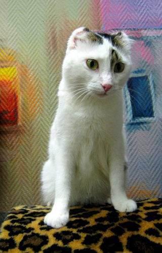 Хвост шотландской кошки — барометр здоровья. шишки под кожей у кошек