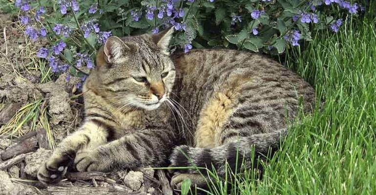 Кошачья мята: трава-энергетик для домашних питомцев