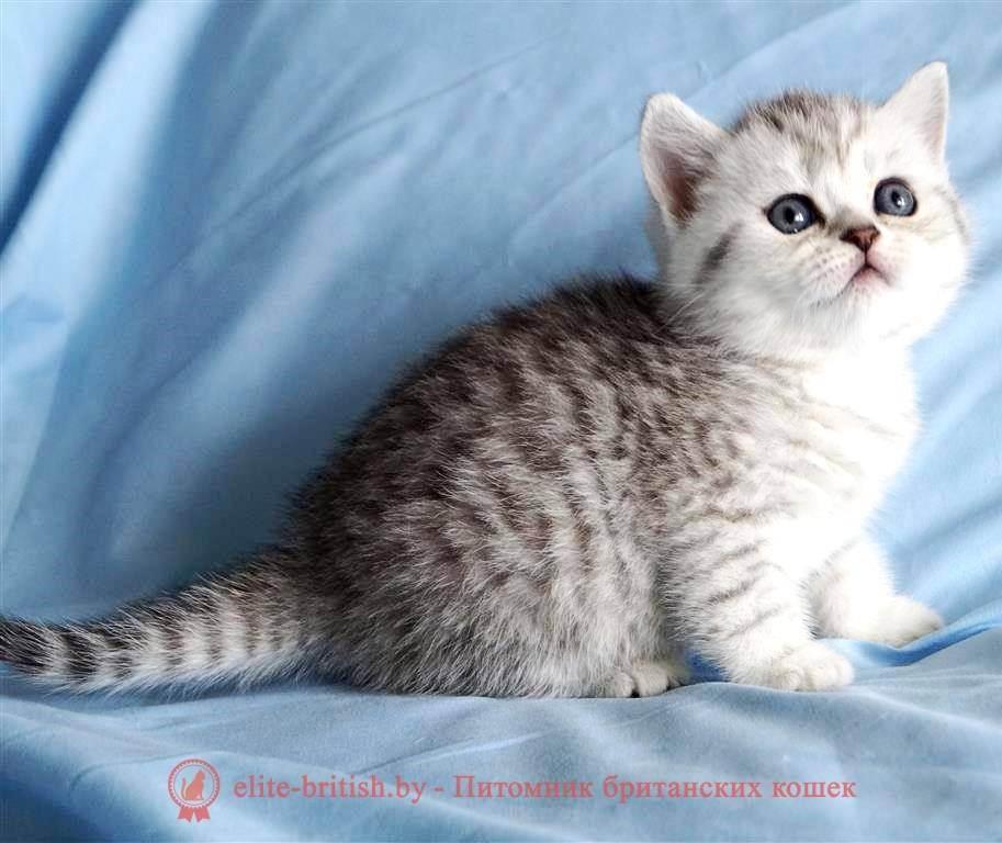 Таблица окрасов британских кошек: белый, серебристый, полосатый