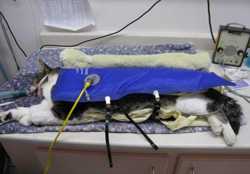 Кастрация и стерилизация: грамотный послеоперационный уход за котом или кошкой