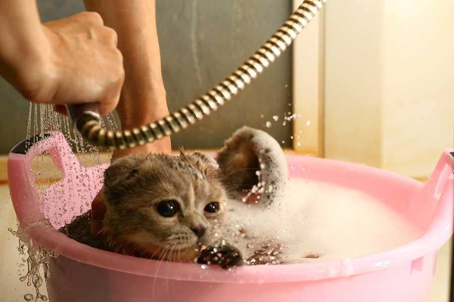 Температура воды для купания кошки - правила и особенности - kotiko.ru