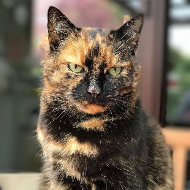 Трехцветные кошки   бывают ли трехцветные коты, есть ли, приметы