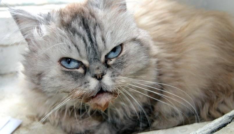 Чумка у кошек: первые признаки, симптомы и лечение
