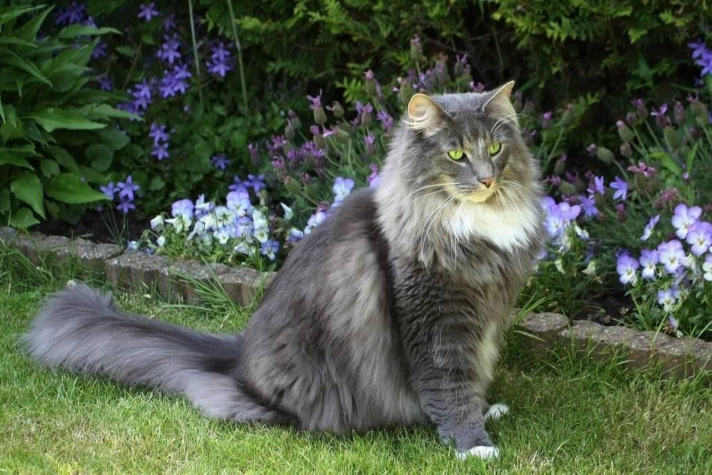 Норвежская лесная кошка - описание, характер, фото, цена | сайт «мурло»