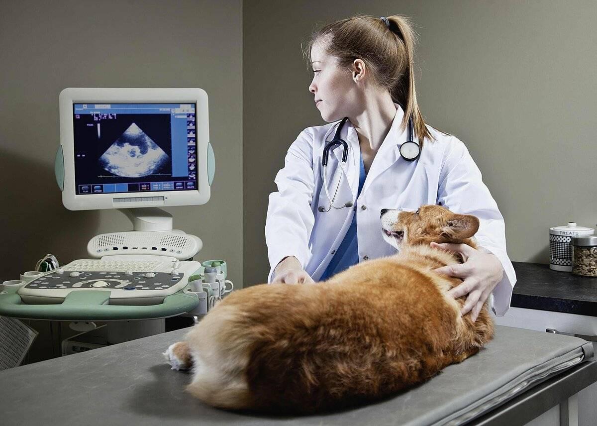 Cделать узи кошке: зачем и как делают, как подготовить к процедуре