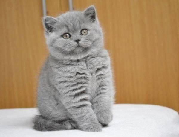 Понос у шотландского котенка что делать