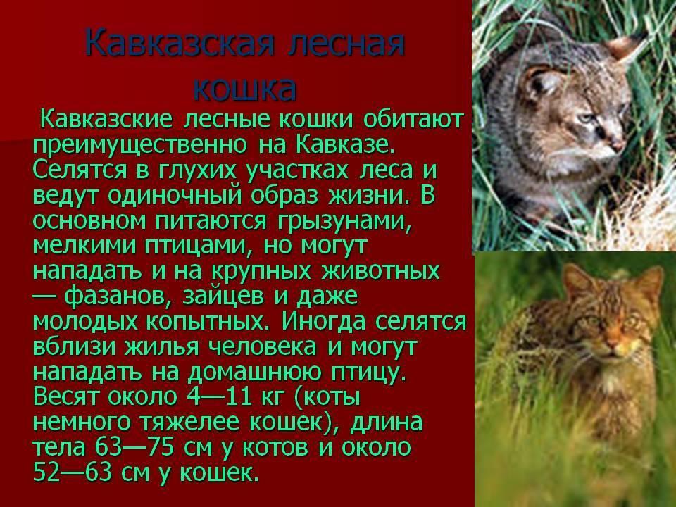 Кавказский лесной кот интересные факты. дикий лесной кот – это не рысь, а предок наших домашних кошек!