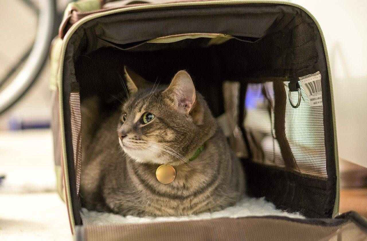 Перевозка кошек на транспорте: основные правила и требования