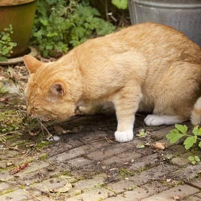 Почему кота рвет после еды непереваренной пищей и что с этим делать