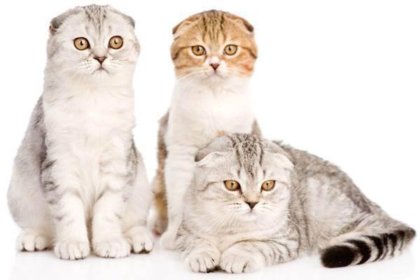 Сколько длится течка у кошки?