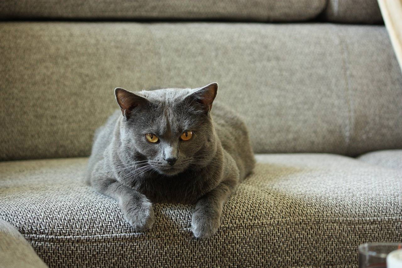 Французская порода кошек шартрез: как ухаживать и чем кормить