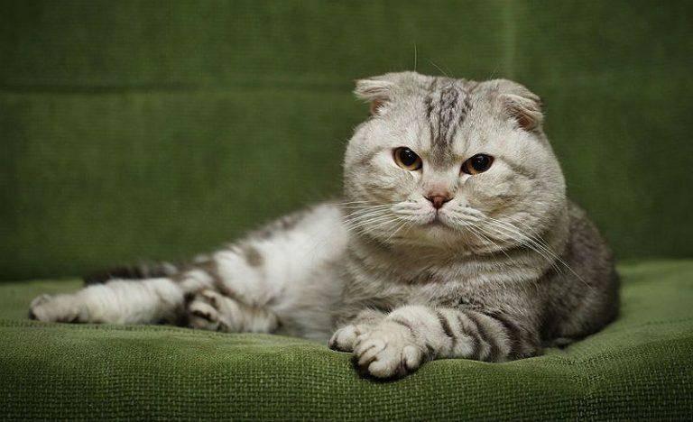 Роды шотландской вислоухой кошки в домашних условиях: как принять котят, способы ухода и реанимации детенышей